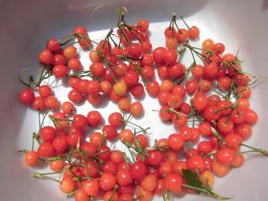 さくらんぼ収穫